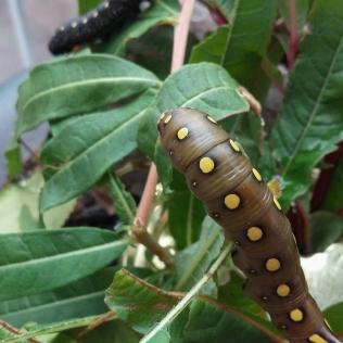 Vihreä matarakiitäjän (Hyles gallii) toukan värimuoto, taustalla tumma värimuoto.