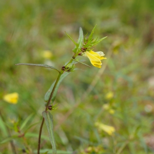 Metsämaitikka - Melampyrum sylvaticum.