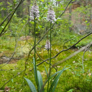 Maariankämmekkä - Dactylorhiza maculata.