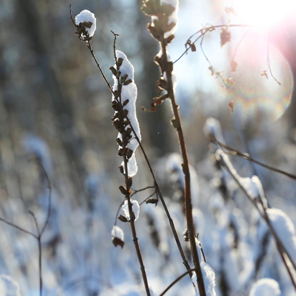 samoilevat sukkaset_luontokuva_talvi_heinänkorsi