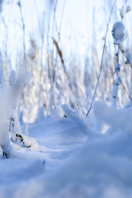 samoilevat sukkaset_luontokuva_talvi_kaislikko