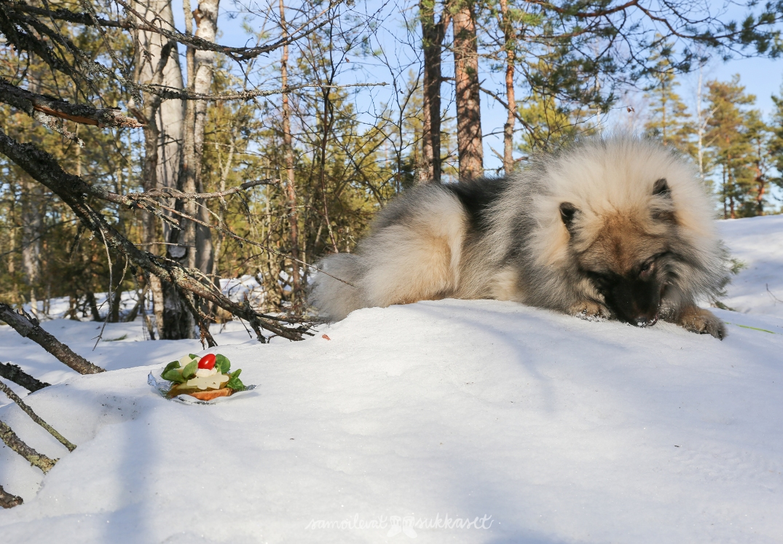 eväsleipä2_samoilevat sukkaset_kevät_laskiainen-keeshond_metsä