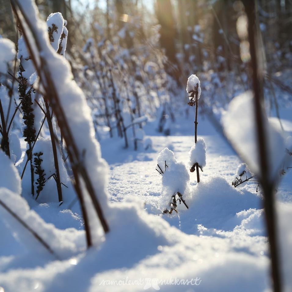 neulehame 4_luontokuva 2_talvi_samoilevat sukkaset
